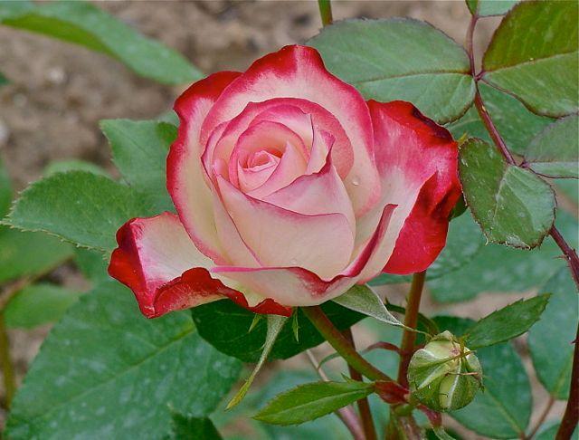 790px-Tea_rose_hybrid_and_bud