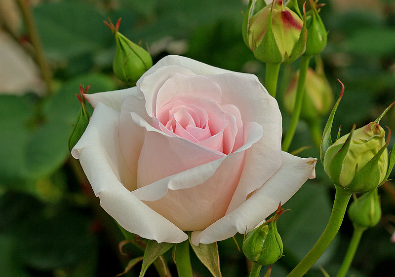 Rose Symbolism Renaissance Universal