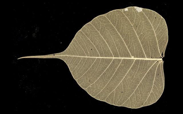 Bodhi_Tree_Leaf-640x400